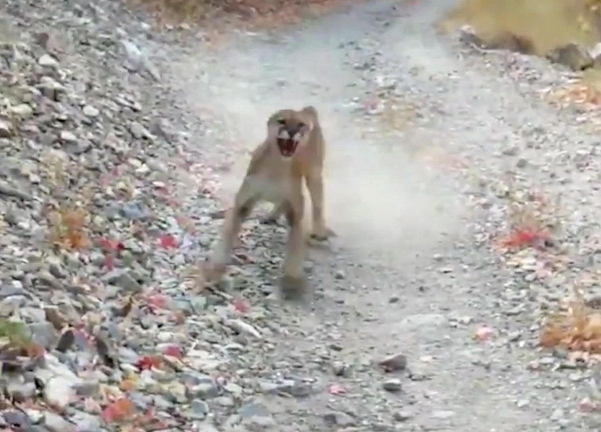 A mountain lion is seen stalking Kyle Burgess in cellphone video after he came upon it and a couple of cubs on a trail in Slate Canyon near Provo on Saturday, Oct. 10, 2020.