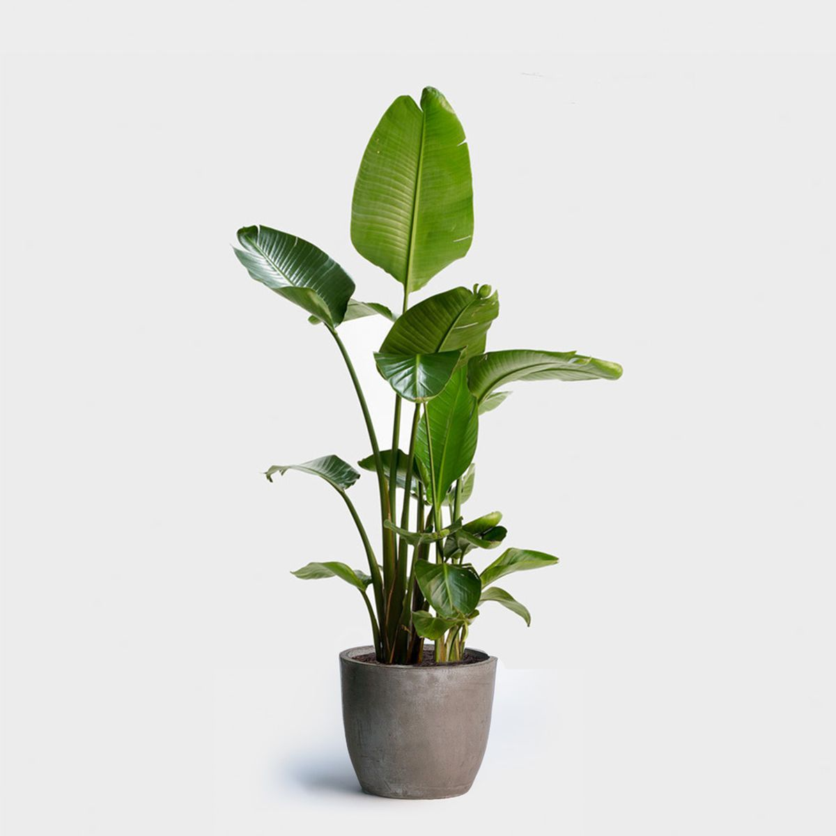 How to Buy Anthurium Plants