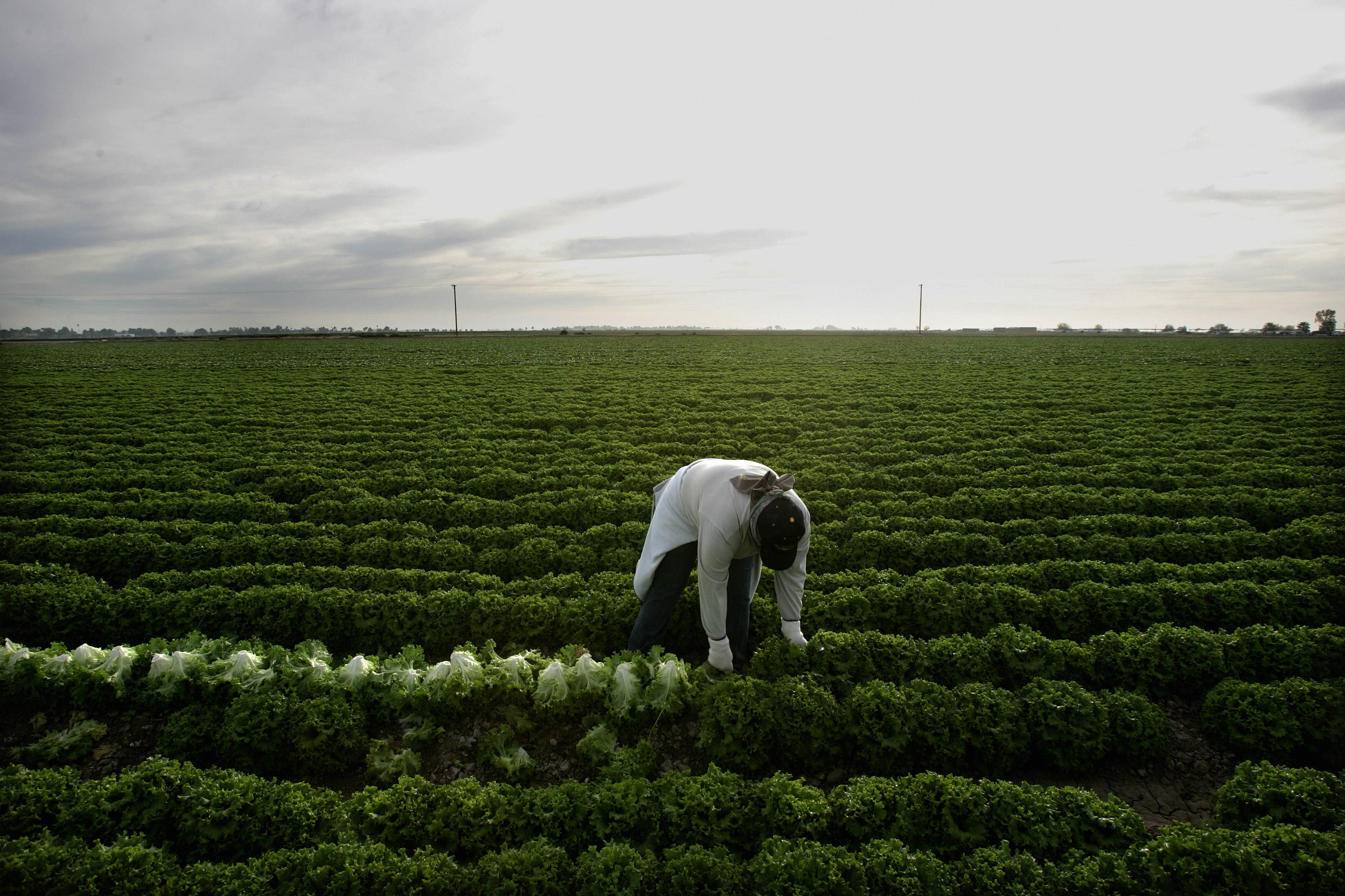 A farm worker harvests lettuce in a green field.