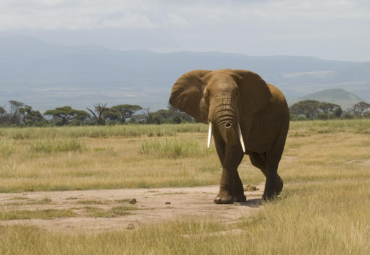 Elephant Wikimedia