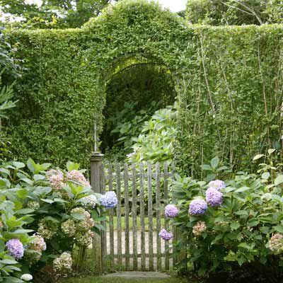 Privet Hedge Growing Over Metal Arch Of Garden