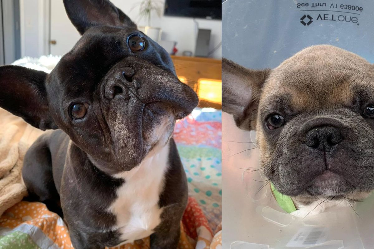 Two French Bulldogs found in an O'Hare Airport warehouse Aug. 31, 2020.