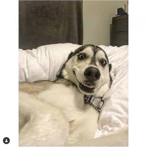 Jeff Hoffman's Siberian Husky, Whistle, smiling for the camera