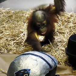 Tuah, an orangutan at Salt Lake City's Hogle Zoo, touches a Carolina Panthers helmet in his enclosure on Thursday, Feb. 4, 2016. Tuah picked the Panthers to beat the Denver Broncos in Super Bowl 50. For the past eight years, an animal at Hogle Zoo has correctly predicted the winner of the Super Bowl. Sunday's game will be played at Levi's Stadium in Santa Clara, California.