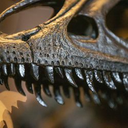 A cast of an allosaurus skull is pictured at the Utah Museum of Natural History during the unveiling of Allosaurus jimmadseni, a new species of meat-eating dinosaur, at the museum in Salt Lake City on Friday, Jan. 24, 2020. The beast inhabited the flood plains of western North America 157 million years ago, making it the geologically oldest species of allosaurus.