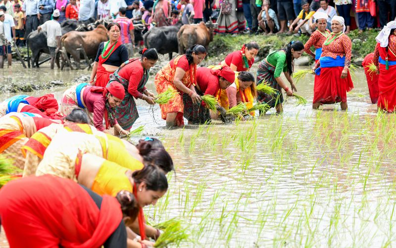 """Nepali farmers plant rice in a paddy field to mark """"National Paddy Day,"""" which celebrates the start of the annual rice planting season."""