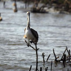 A pelican sits on a piece of dead mangrove near the eroding shoreline of Cat Island in Barataria Bay in Plaquemines Parish, La., Wednesday, April 11, 2012.