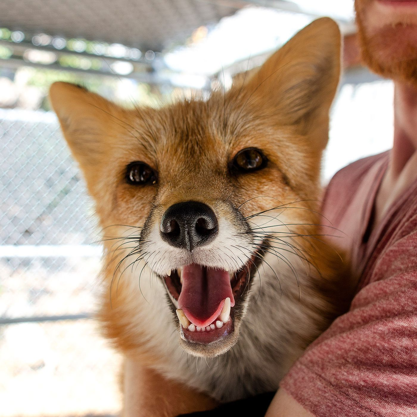 These domesticated foxes were 60 years in the making - The Verge