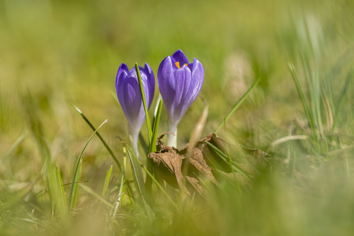 Purple crocuses (Crocoideae) are blooming on a meadow...