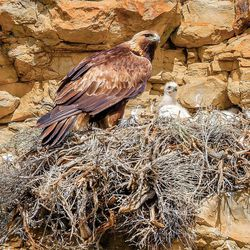 A golden eagle watches over its chick in a nest in central Wyoming.