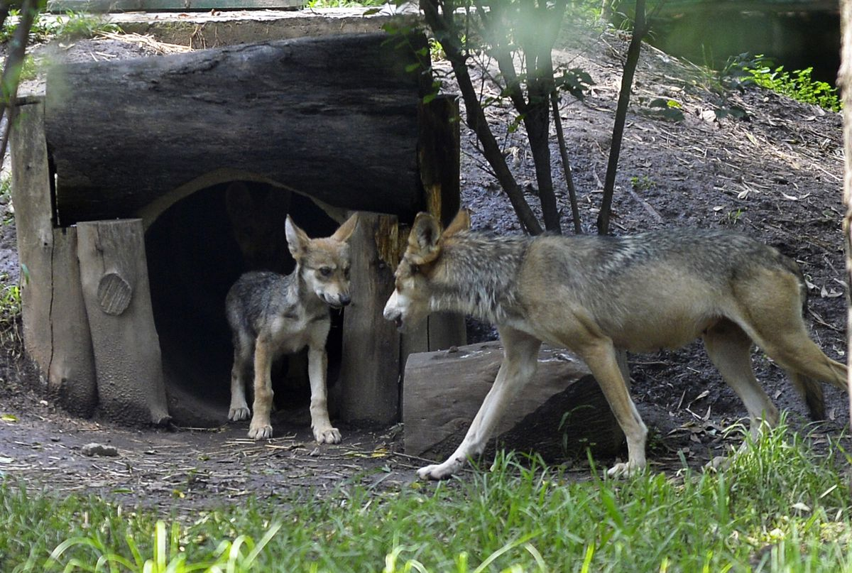 MEXICO-NATURE-WOLVES