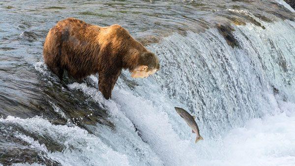 salmonbaer