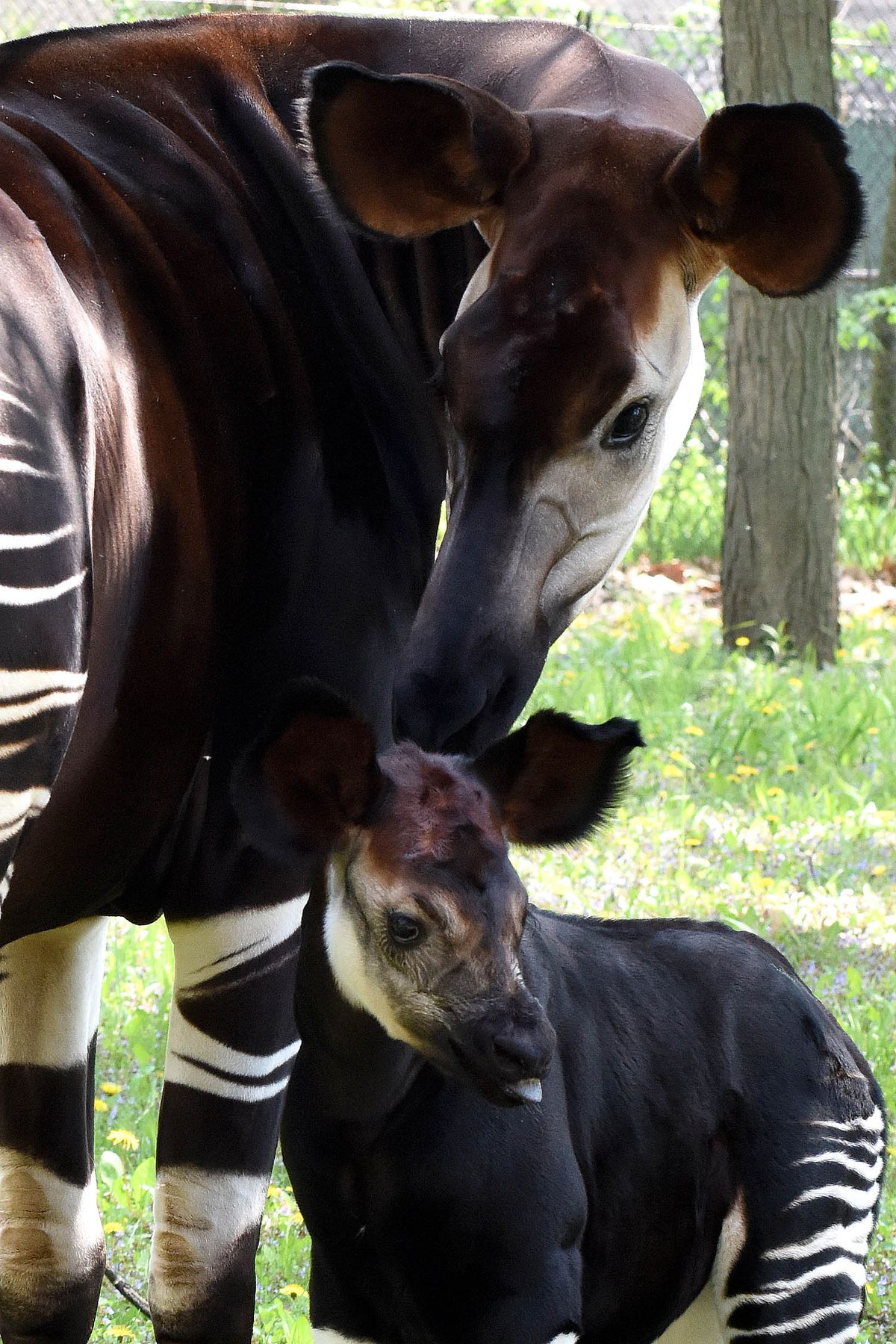 Will, a 1-month-old okapi calf at Brookfield Zoo, with his mom Augusta K. | Jim Schulz/Chicago Zoological Society