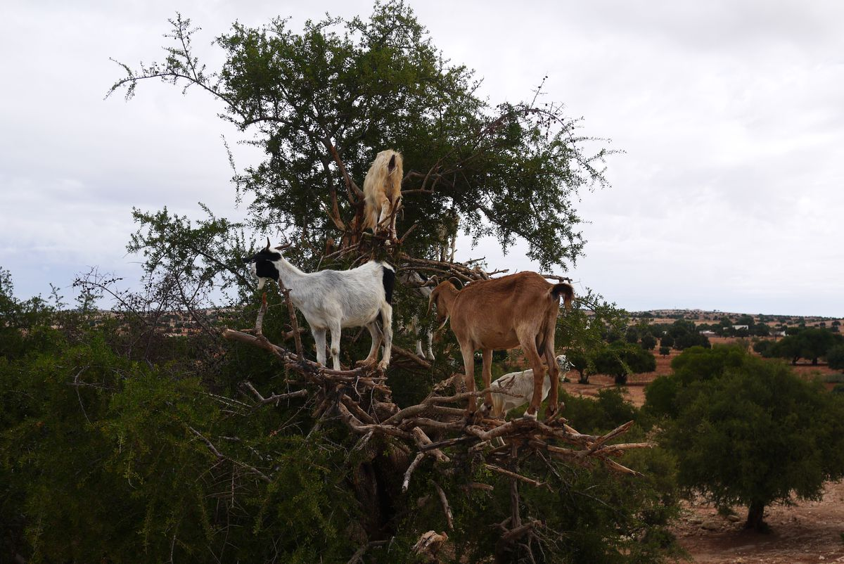 how to meet the tree climbing goats of morocco meridian