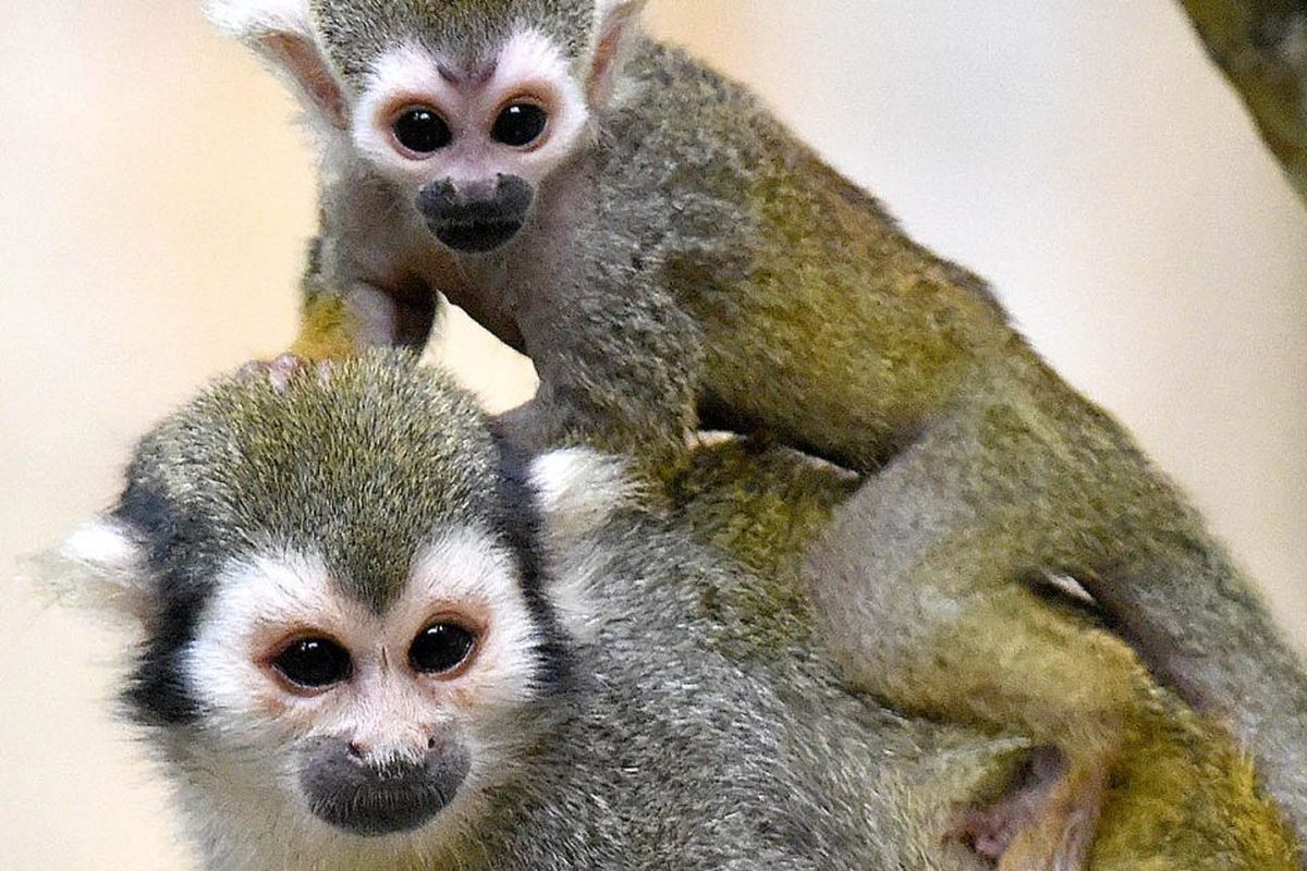 2 Baby Squirrel Monkeys Born At Brookfield Zoo Chicago Sun Times