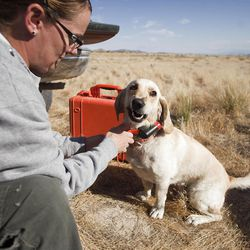 Dog handler Janarie Cammans readies her cadaver dog Callie near the base of Topaz Mountain where law enforcement look for missing Utah mother Susan Powell, on Friday, Sept. 16, 2011, 50 miles northwest of Delta. Powell disappeared from her West Valley City home in December 2009 and hasn't been seen since.