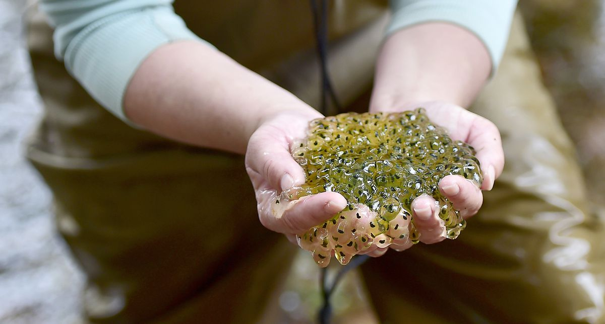 A person holding their cupped hands full of glistening amphibian eggs.