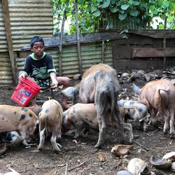 Maileva Tu'avao, 9, feeds coconut pieces to his family's pigs at their home in the Tongan village of Talafo'ou earlier this month. To feed themselves since the start of the pandemic, Tongans have come to rely more heavily on native fruit and their own ability to raise pigs and chickens.