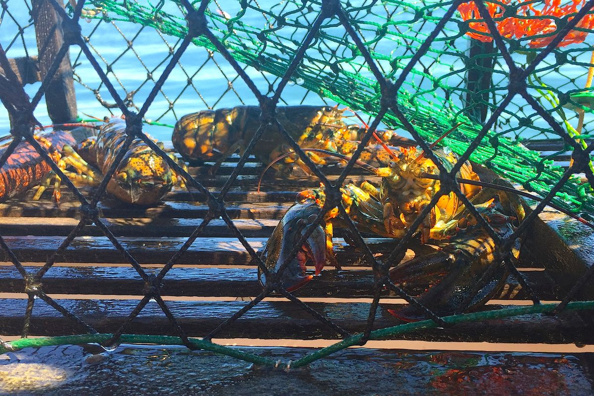 Maine lobster in a trap.