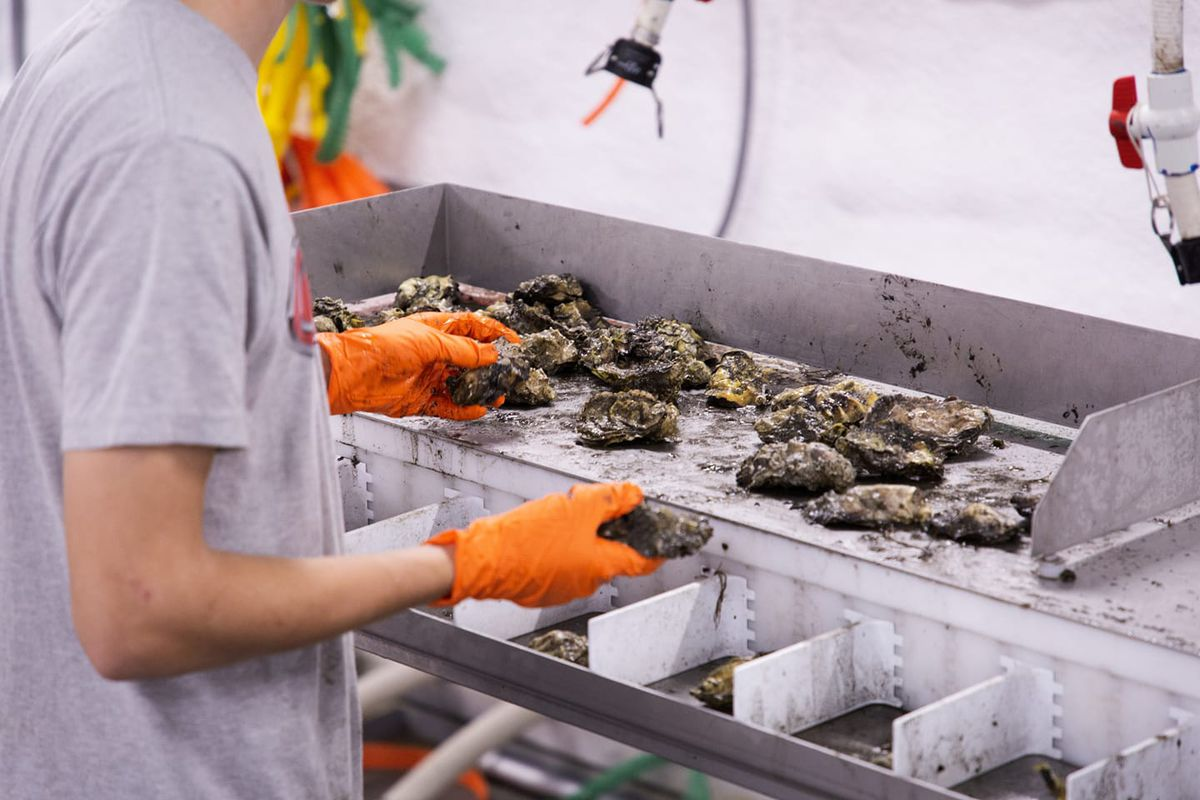 A man handling oysters at Jamestown Seafood