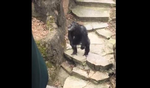 Chimpanzee Throws Poop Directly Into Grandmas Face Sbnationcom