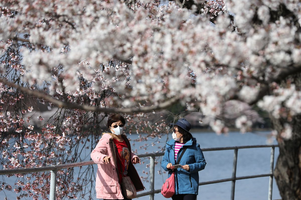 Washington, DC Cherry Blossoms Reach Peak As Coronavirus Brings City To Standstill