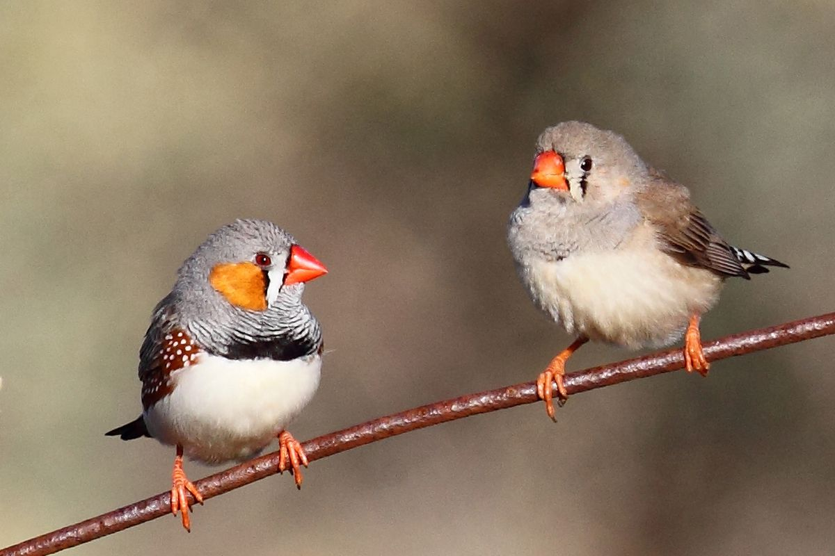 Zebra finches sing to eggs to prepare babies for global ...