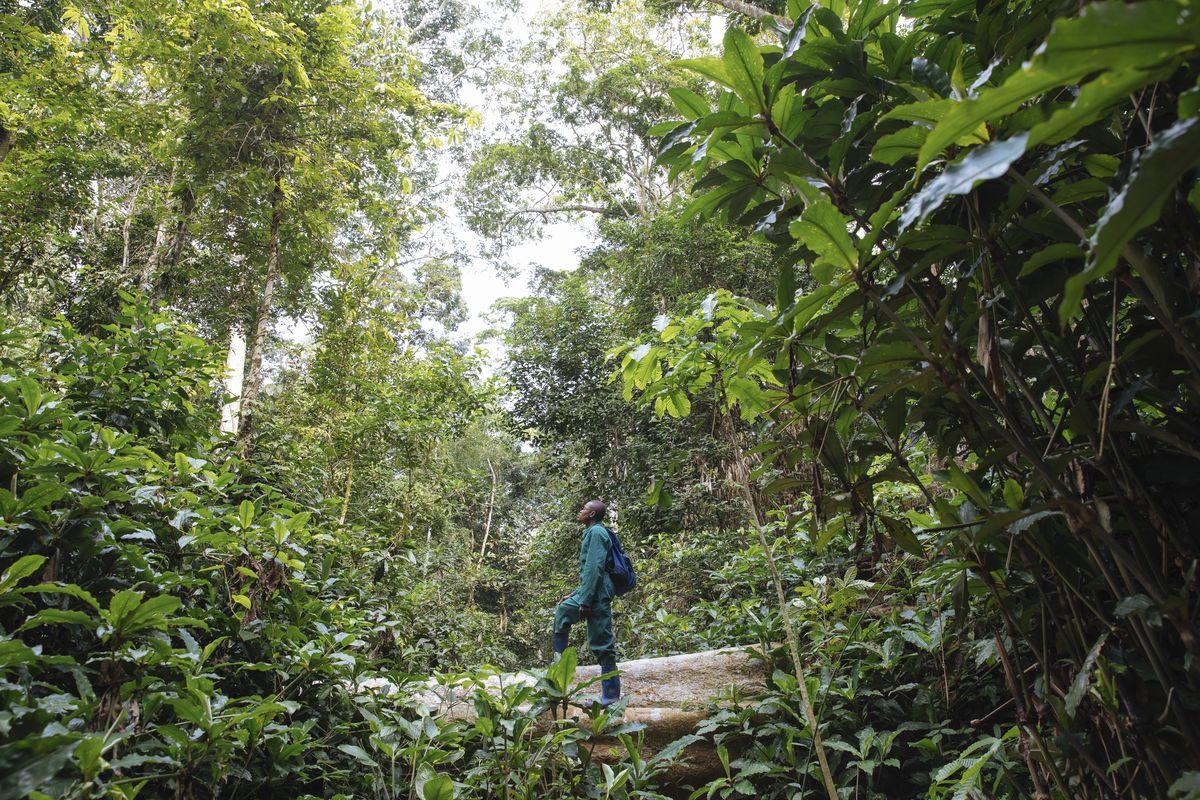 Kabinda looks up at an Afrormosia tree.