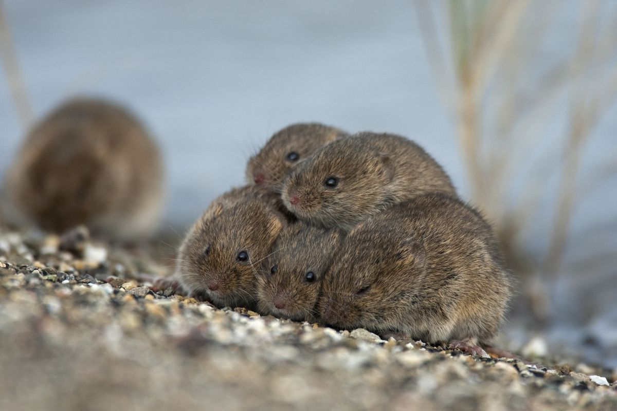 Voles huddling together near the Wadden Sea in the Netherlands.
