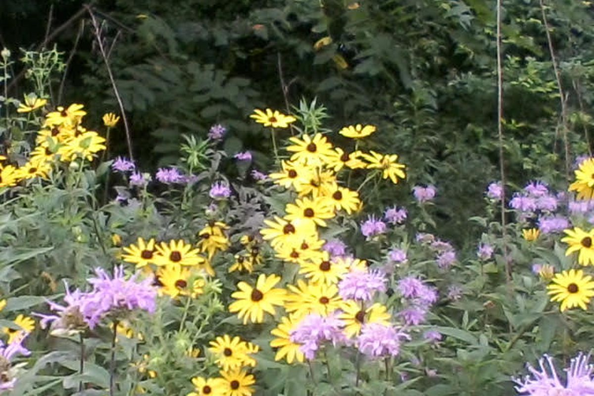 Bee balm and black-eyed susans, both common wildflowers in Chicago.