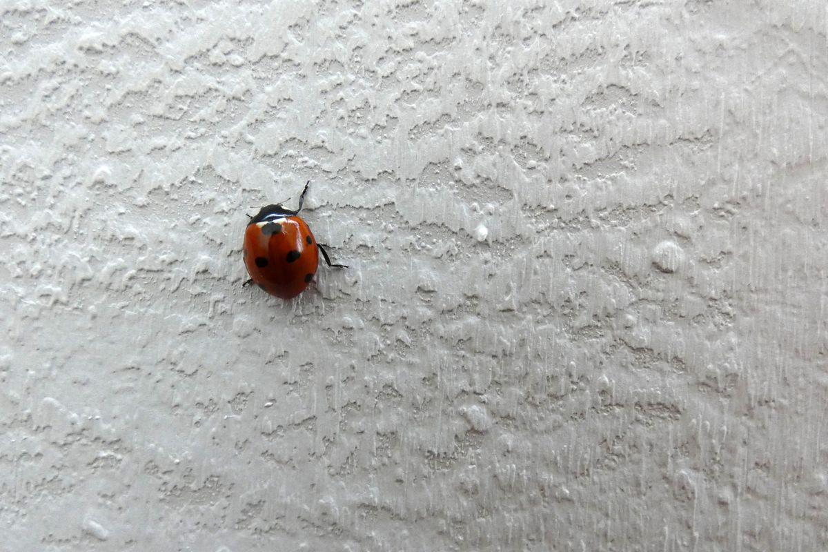 Lady Bug on White Wall