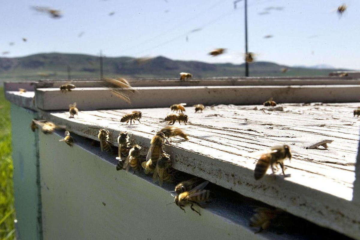 The role of bees play in almond production may be putting them at risk.