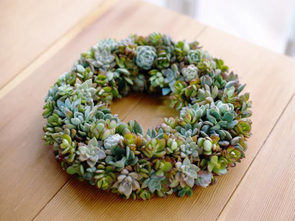 Succulent used for a creative holiday wreath.