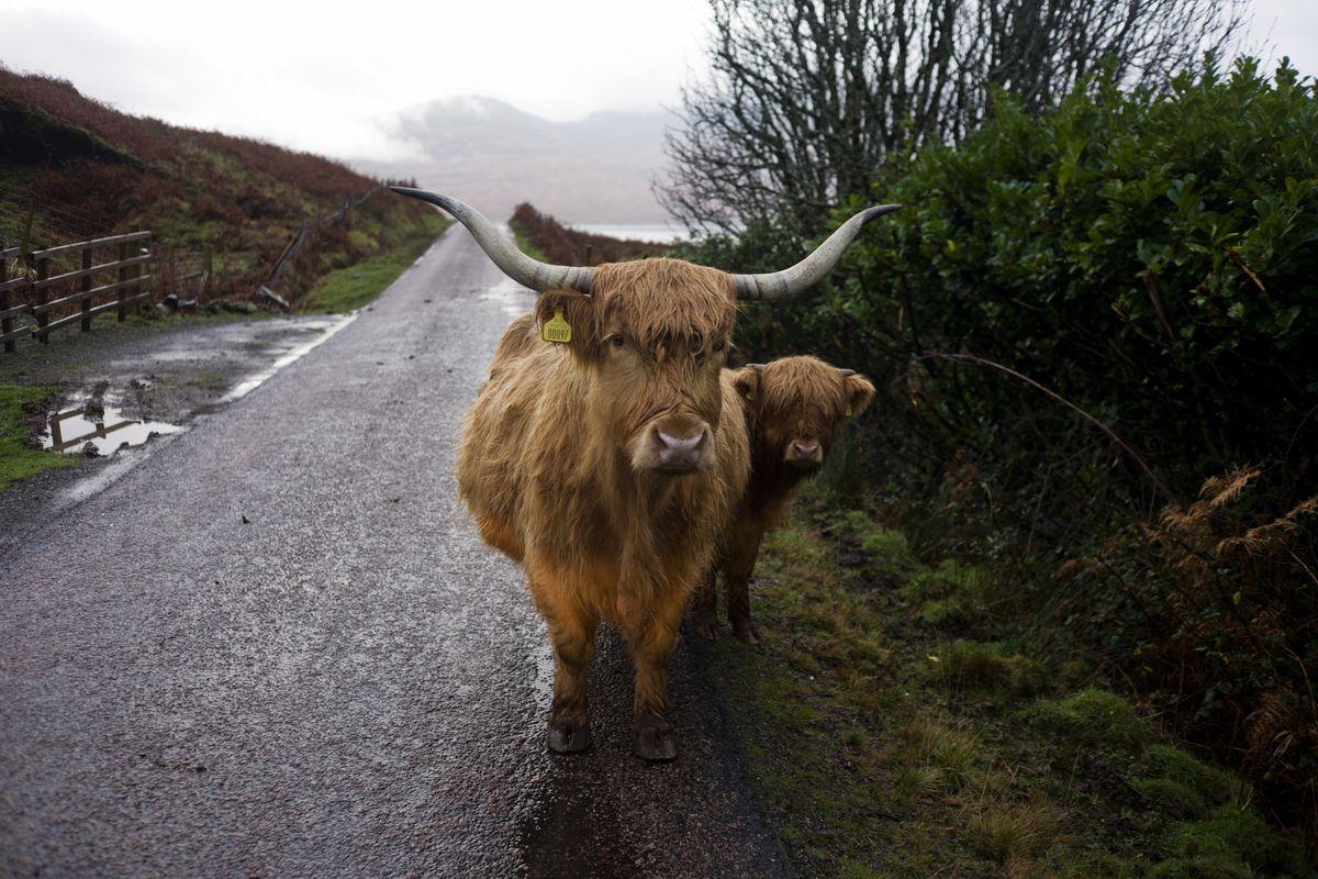 Scotland - Isle of Mull - Killbrennan Longhorn cattle blocking road