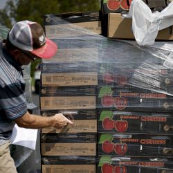 Boxes of cherries are counted at the Utah Food Bank mobile pantry at The Church of Jesus Christ of Latter-day Saints' Cannon Stake Center in Salt Lake City on Wednesday, Sept. 1, 2021.