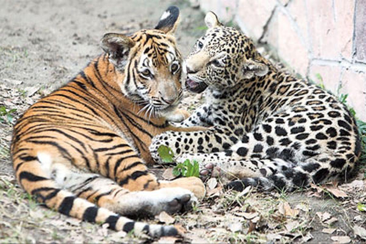 The Snow Leopards Heart Glacier Leopards Book 4