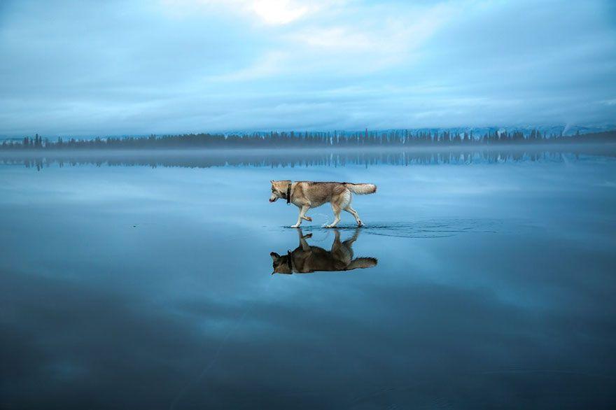 siberian-huskies-frozen-lake