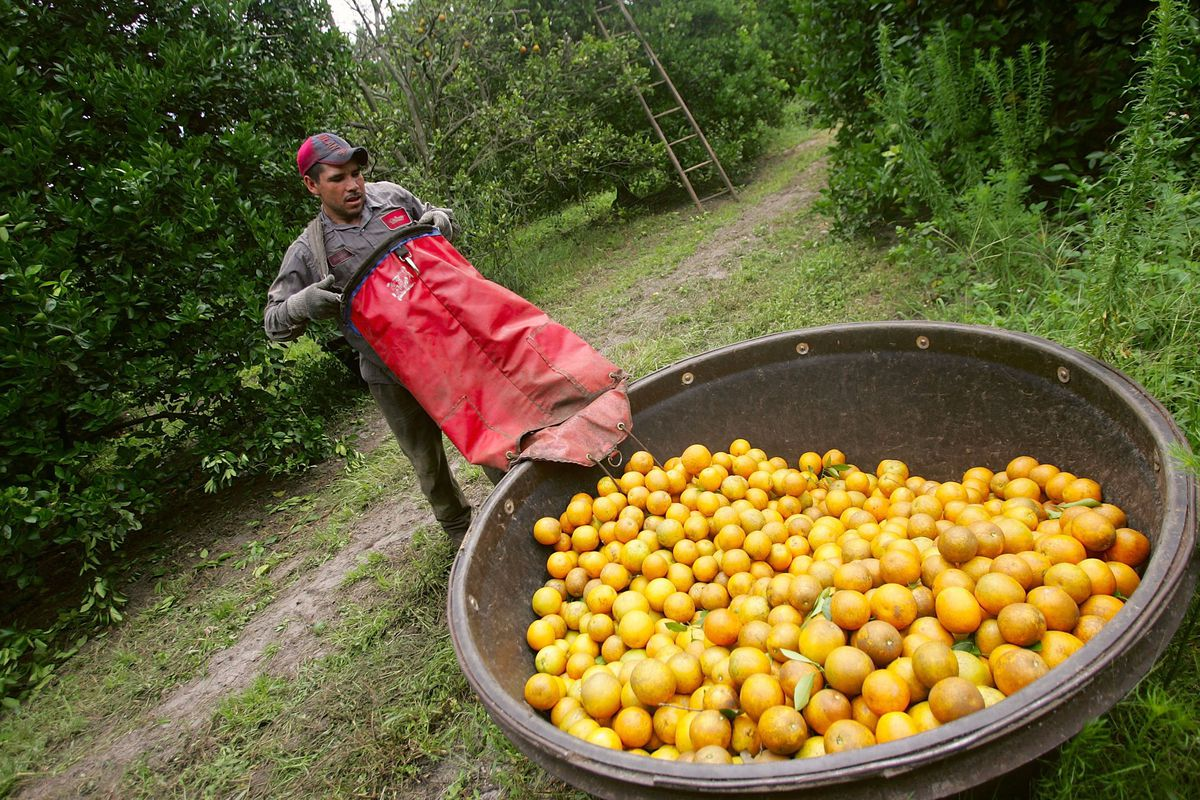 A farmworker empties a picking bag of oranges into a bin in an orange orchard.