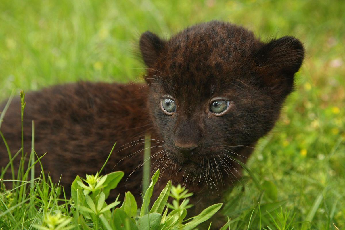 Newborn Panther Cubs At Tierpark Berlin