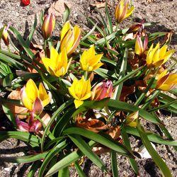Early tulip cultivars at the Leiden Botanical Garden.