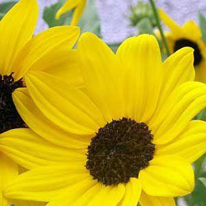 <p>Beach sunflower, a tropical wildflower</p>