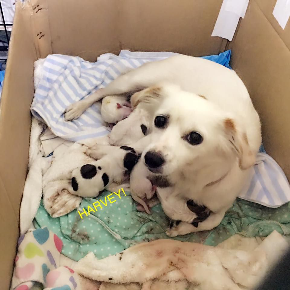 A box of white and black puppies and mom
