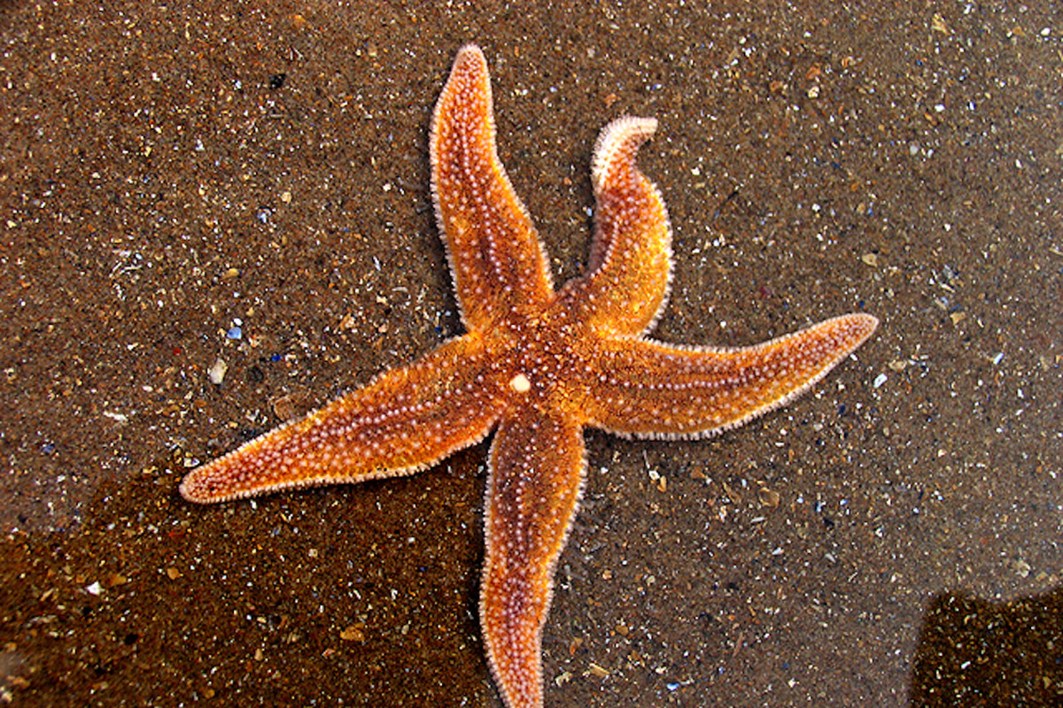 Starfish Are Dying In Huge Numbers From A Gruesome Wasting Disease