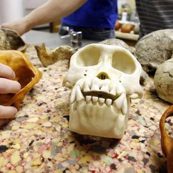 Students use models of skulls to study evolution at BYU in Provo on Friday, March 30, 2012.