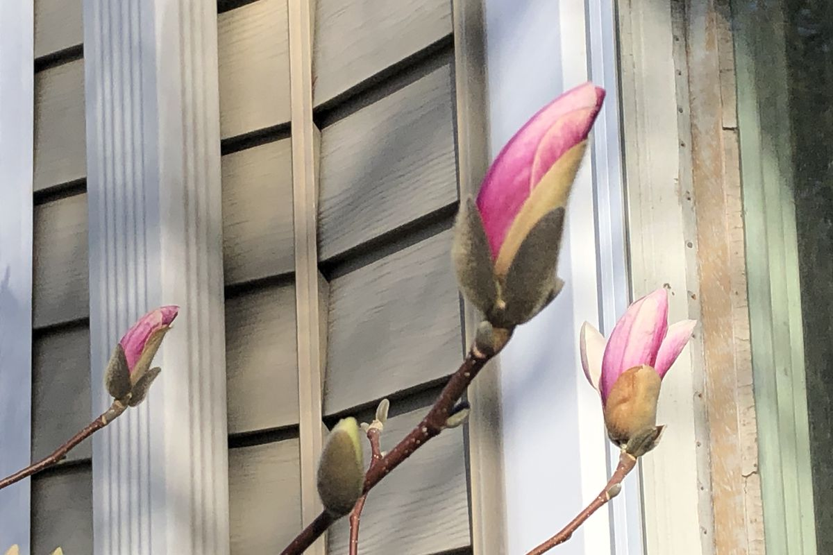 The saucer magnolias are beginning to bloom, unfortunately, a reminder that sometimes you need to stay safe, even if conditions seem to welcome going out.