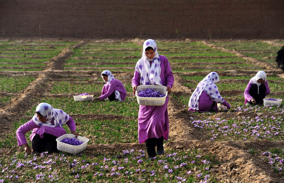 Afghan workers pick saffron flowers in the Ghoriyan District of Herat.