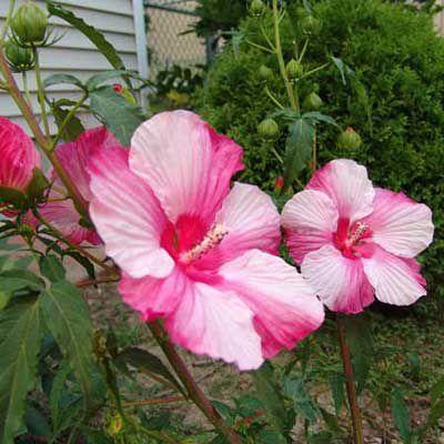 Perennial Hibiscus (H. Moscheutos)