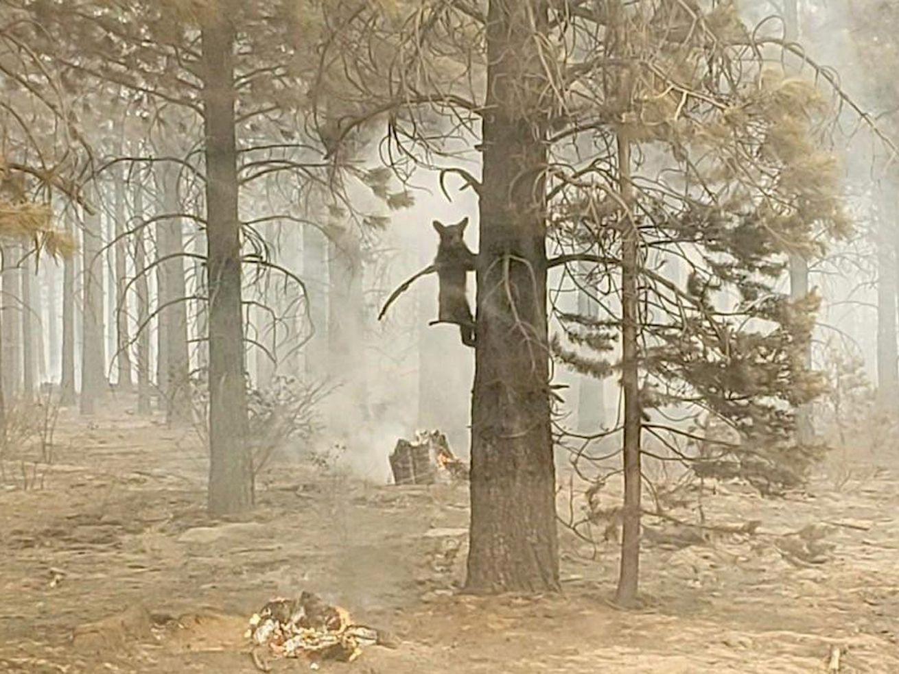 In this photo provided by the Bootleg Fire Incident Command, a bear cub clings to a tree after being spotted by a safety officer at the Bootleg Fire in southern Oregon, Sunday, July 18, 2021. As more fire personnel moved into the area, the cub scurried down the tree trunk and later left after being offered water.  Smoke and ash from the wildfires have drifted thousands of miles, reaching as far as New York. In Chicago, a blanket of thick haze covered the sky and turned it milky white.