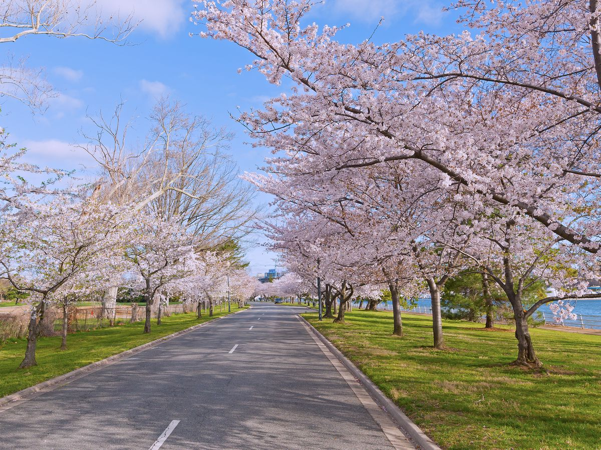 A bike path with trees that have pink blossoms.