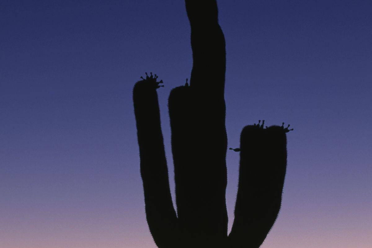 Saguaro at sunset, Sonora Desert near Tucson